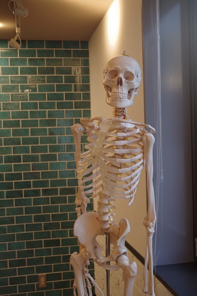 zen place pilates by basiに置いてある人体模型の写真